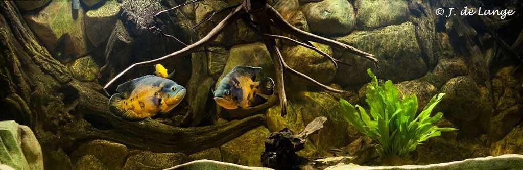 Astronotus-ocellatus-aquarium